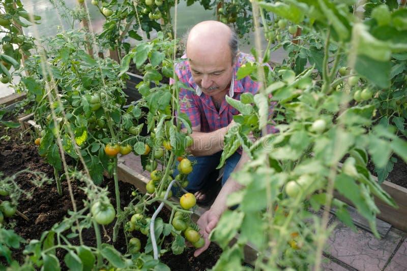 Hispanischer älterer Landwirt, der seine Tomaten in einem Treibhaus überprüft lizenzfreie stockfotos