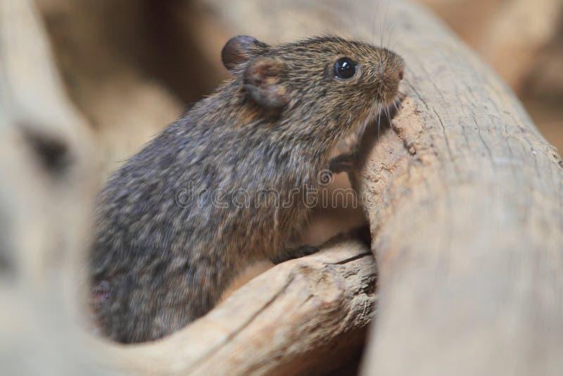 Hispid крыса хлопка стоковое изображение rf