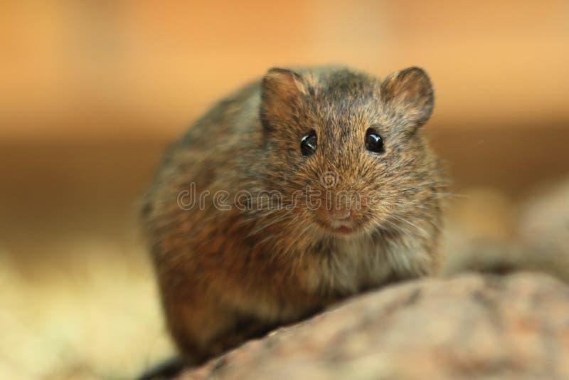 Hispid cotton rat royalty free stock photos
