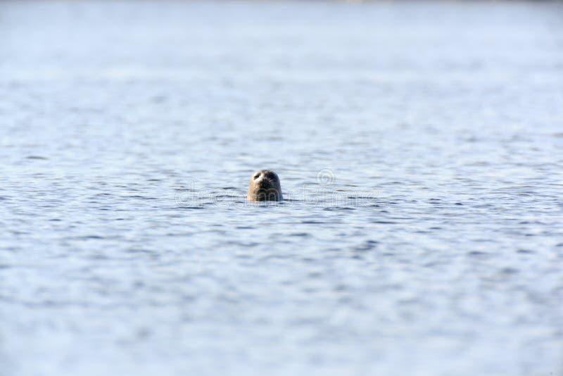 Hispida настоящего тюленя, окружённое уплотнение стоковая фотография