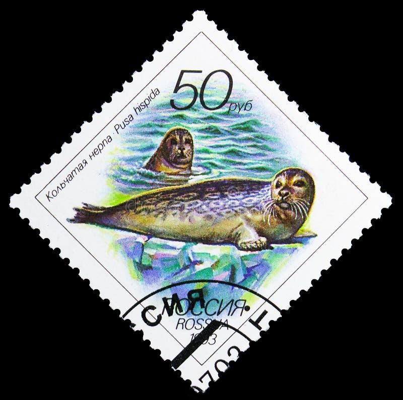 Hispida anillado de Pusa del sello, serie de la fauna, circa 1993 imagen de archivo
