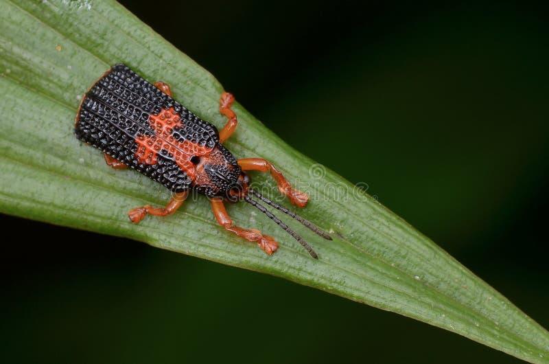 Hispine甲虫 库存图片