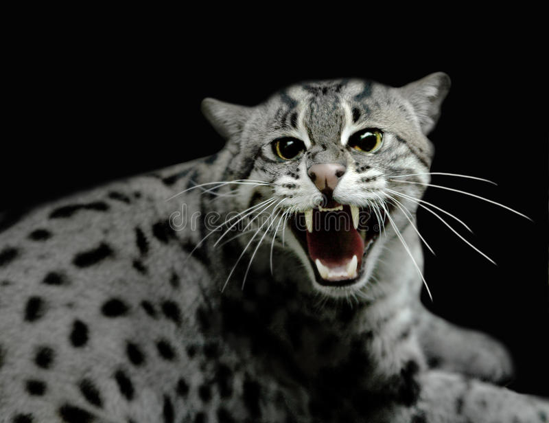 hissing γατών τίγρη στοκ φωτογραφίες