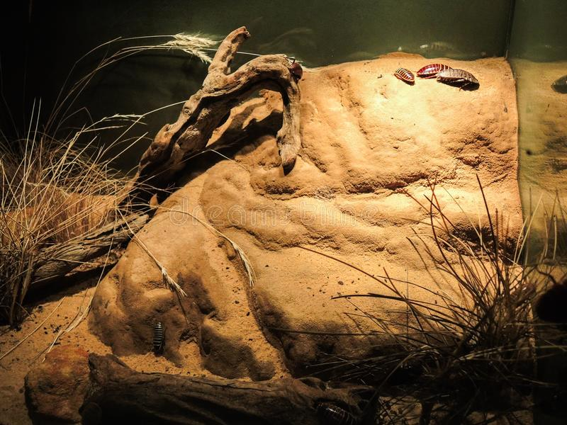 Hissing της Μαδαγασκάρης κατσαρίδες, έντομα, και ζωύφια στην επίδειξη δεξαμενών γυαλιού στοκ εικόνες