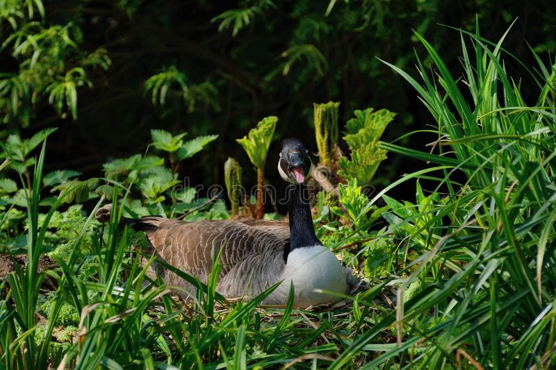 Hissing Canada Goose protecting nest. stock photos