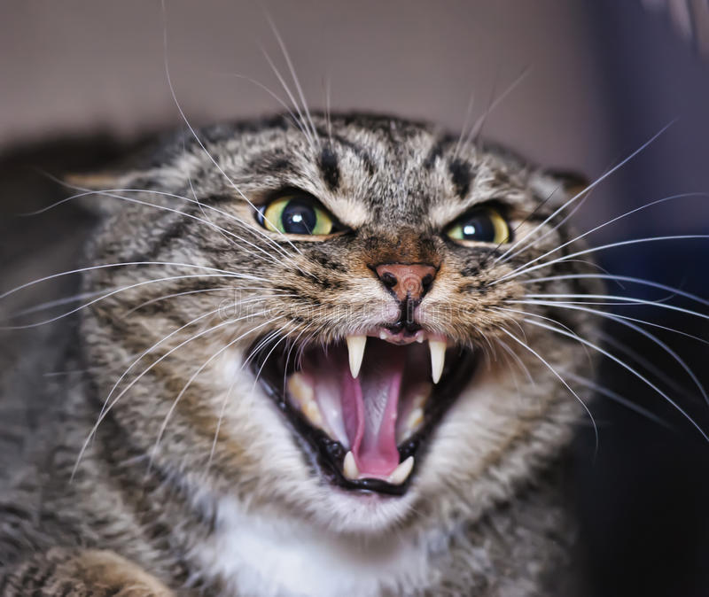 Hissing Cat royalty free stock image