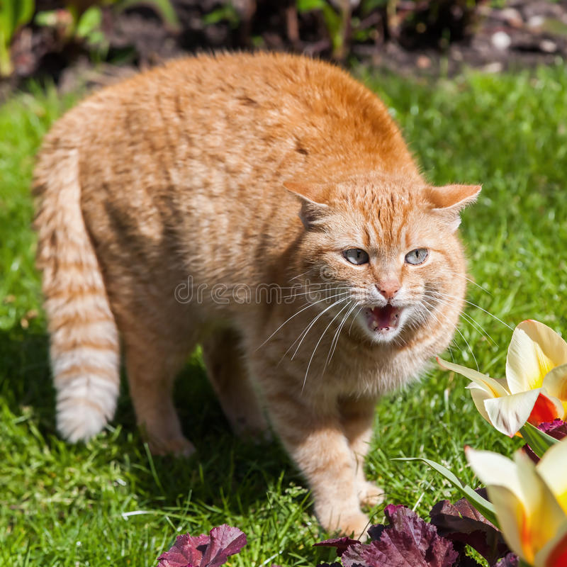 Hissing cat in a garden. Hissing red colored cat in a garden royalty free stock photo