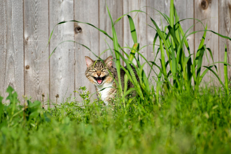 Hissing Cat. Hissing tabby cat standing outside behind tall grass stock photography