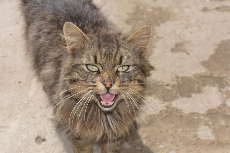 Hissing Cat. A hissing wild cat with green eyes royalty free stock photo