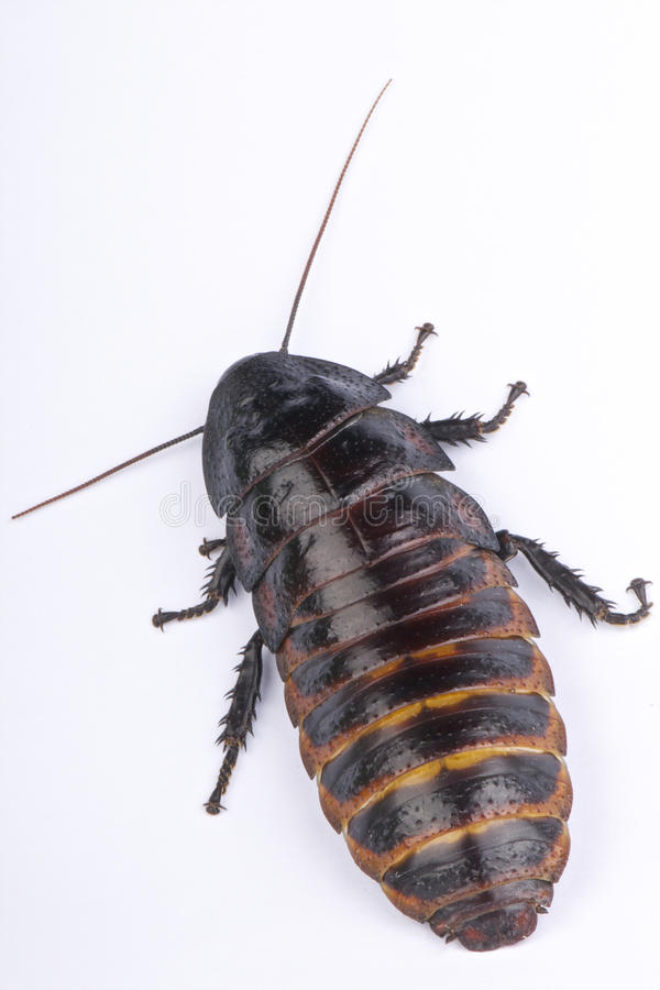 Free Hissing Cockroach Royalty Free Stock Images - 24985449