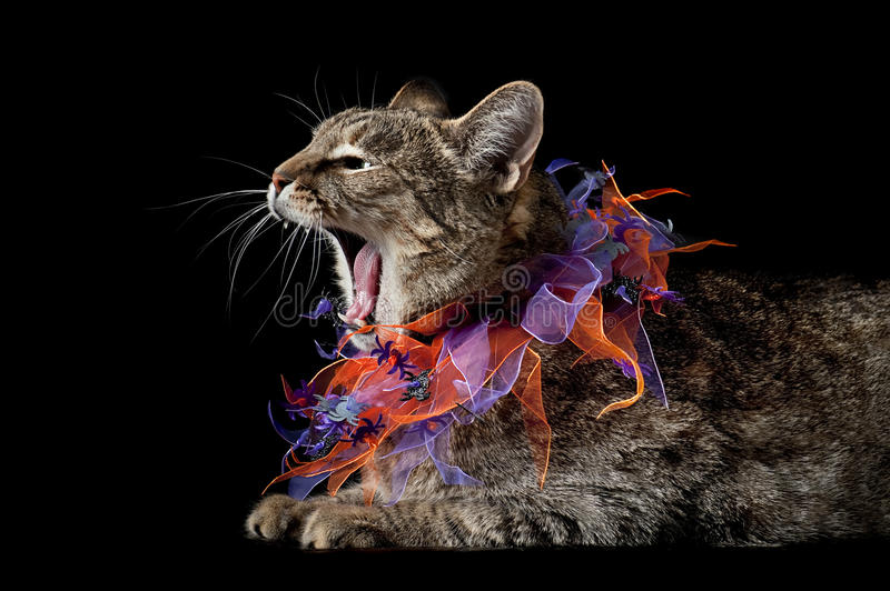 Hissing Halloween Tabby Cat. Hissing Tabby Cat with Purple and Orange Halloween Collar Isolated on Black royalty free stock images