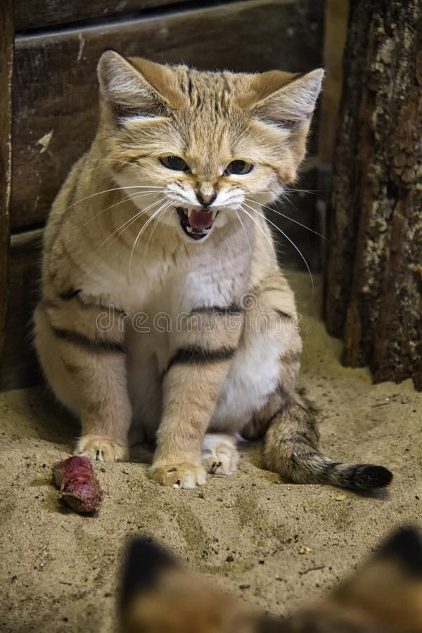 Hissing Sand Cat. Sand cat hissing on other cat because of prey royalty free stock images