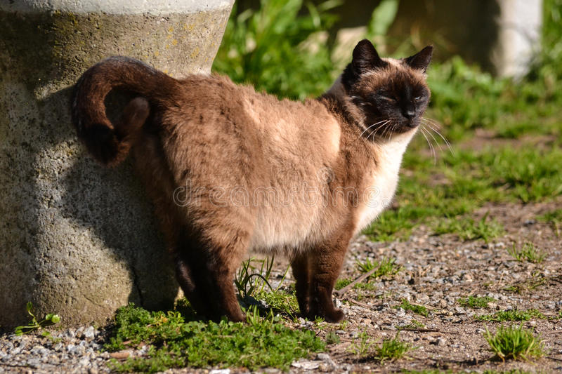 Hissing siamese brown cat by the sun. Siamese brown cat by the sun and grass stock image