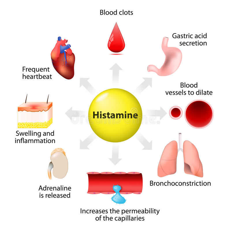 Histamine action and adverse effects royalty free illustration