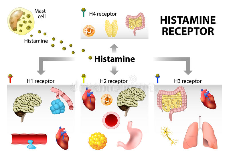 Histamine receptor royalty free illustration