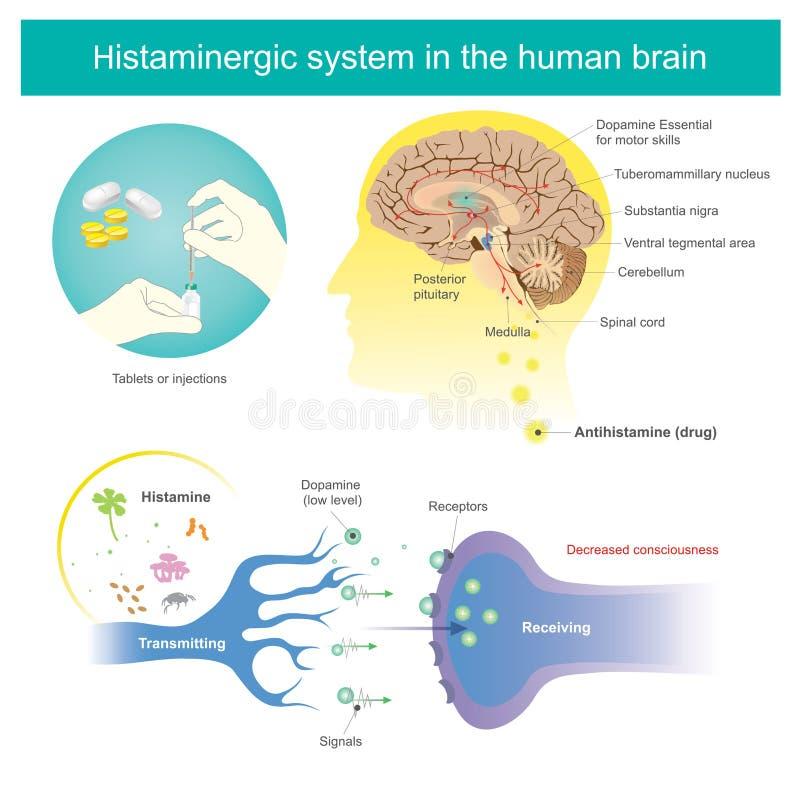 Histaminergic система в человеческом мозге Иллюстрация гистамина иллюстрация вектора