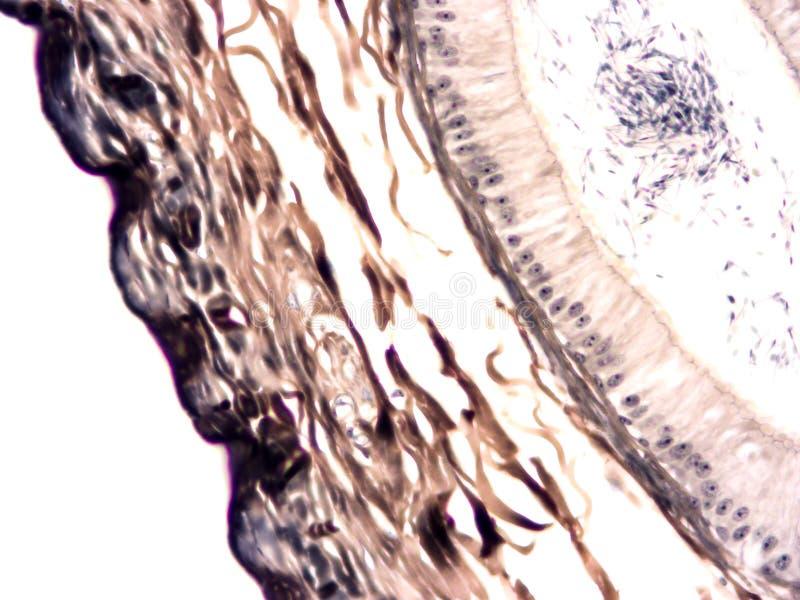 Histologi av det mänskliga silkespappret fotografering för bildbyråer