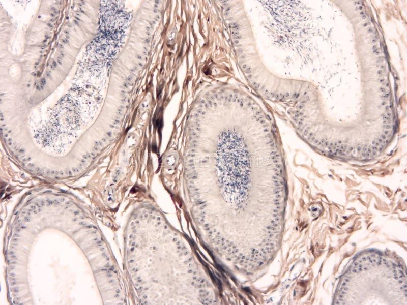 Histologi av det mänskliga silkespappret royaltyfri bild
