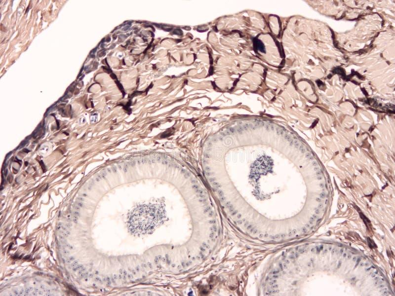 Histologi av det mänskliga silkespappret royaltyfri foto