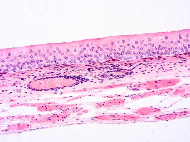 Histologi av det m?nskliga silkespappret arkivbild