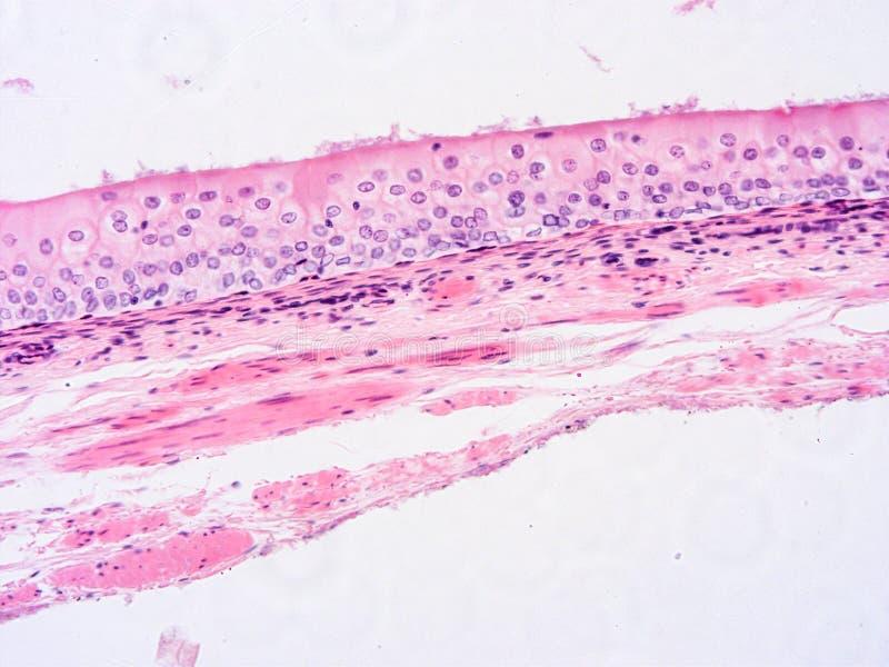 Histologi av det m?nskliga silkespappret arkivfoton