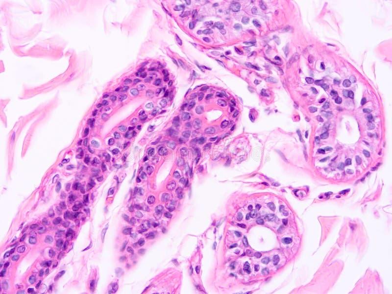 Histologia do tecido humano imagens de stock royalty free