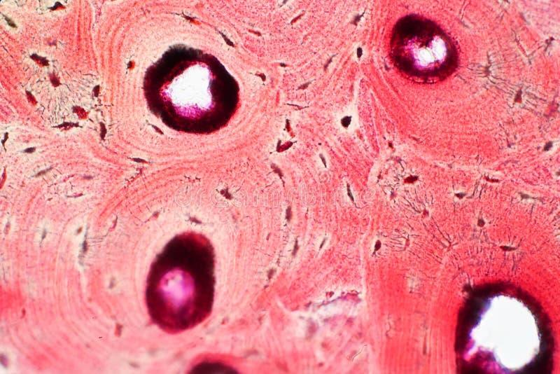 Histologia ludzka ścisła kości tkanka pod mikroskopu widokiem dla obrazy royalty free