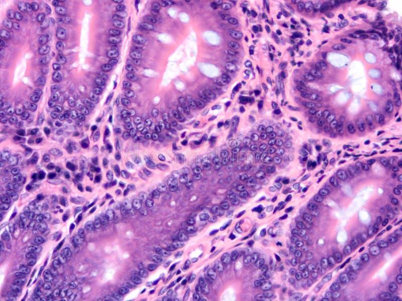 Histologia ludzka tkanka zdjęcie royalty free