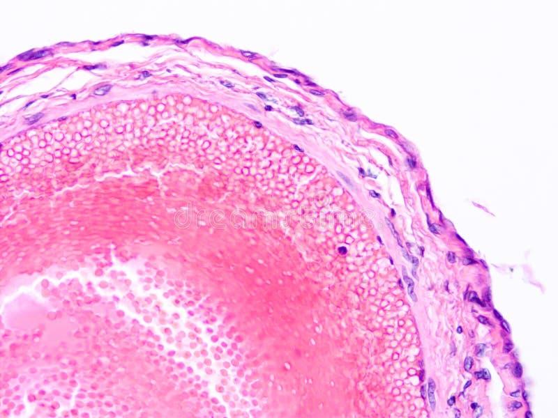 Histologia ludzka tkanka obrazy stock
