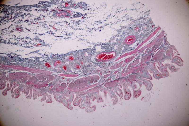 Histological sample Simple columnar epithelium Tissue under the microscope. royalty free stock images