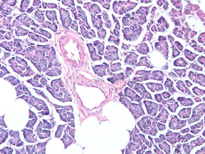 Histologie de tissu humain de pancréas images libres de droits