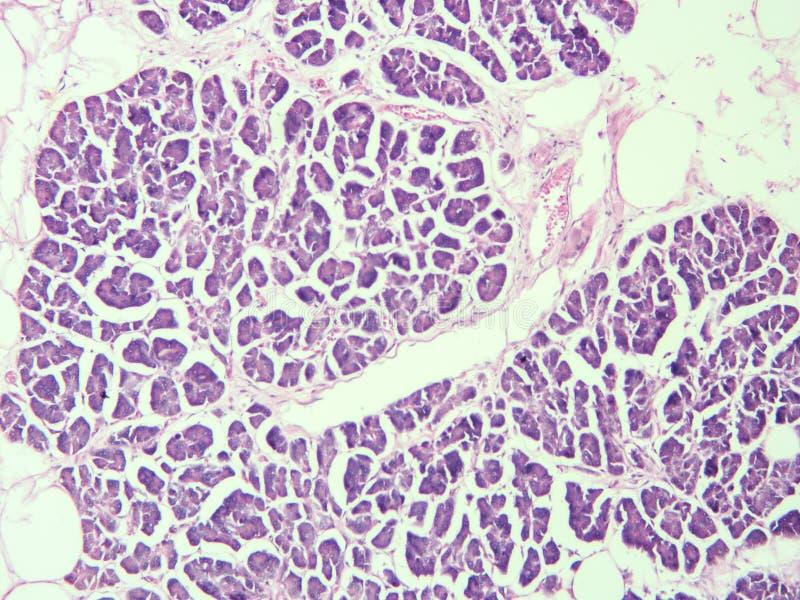 Histologie de tissu humain de pancréas photo libre de droits
