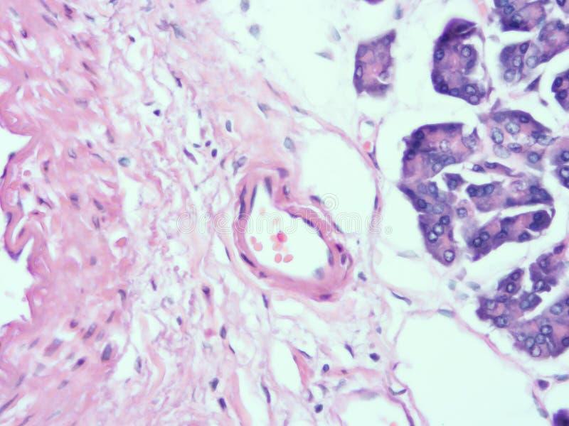 Histologie de tissu humain de pancréas image libre de droits