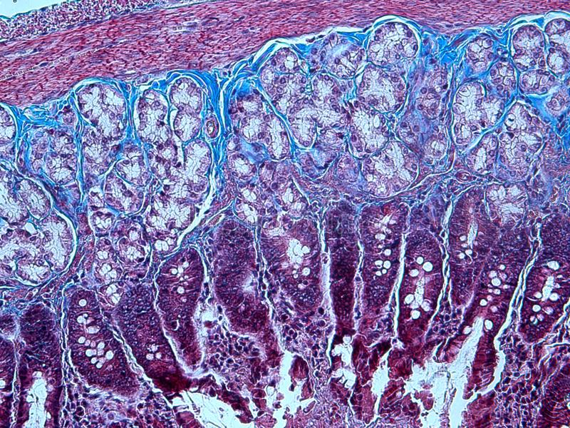 Histology of Collagen royalty free stock photography