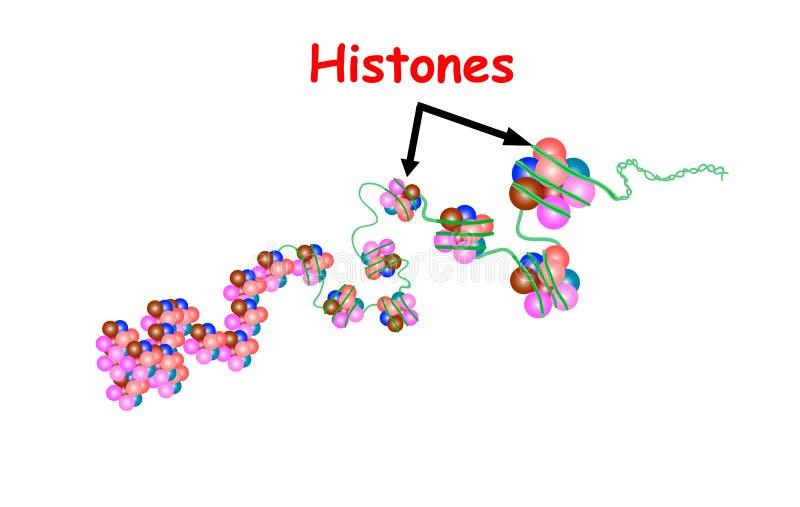 Histone i strukturen av DNA:t genomföljd Bara Telo är en upprepande följd av detstrandade DNA:t som lokaliseras på sluten av vektor illustrationer