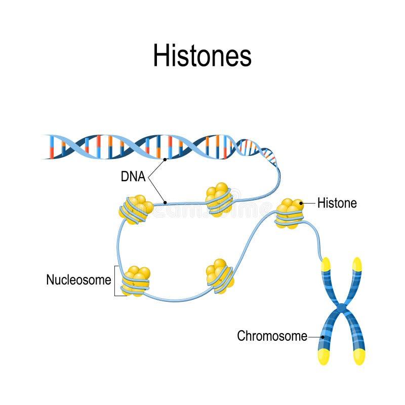 Histones A representação esquemática mostra a organização e o empacotamento do material genético no cromossoma ilustração do vetor