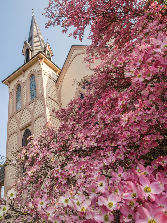 Historic church in spring. Historic Presbyterian Church in Jacksonville Oregon with steeple in spring blooming pink dogwood blossoms royalty free stock photo