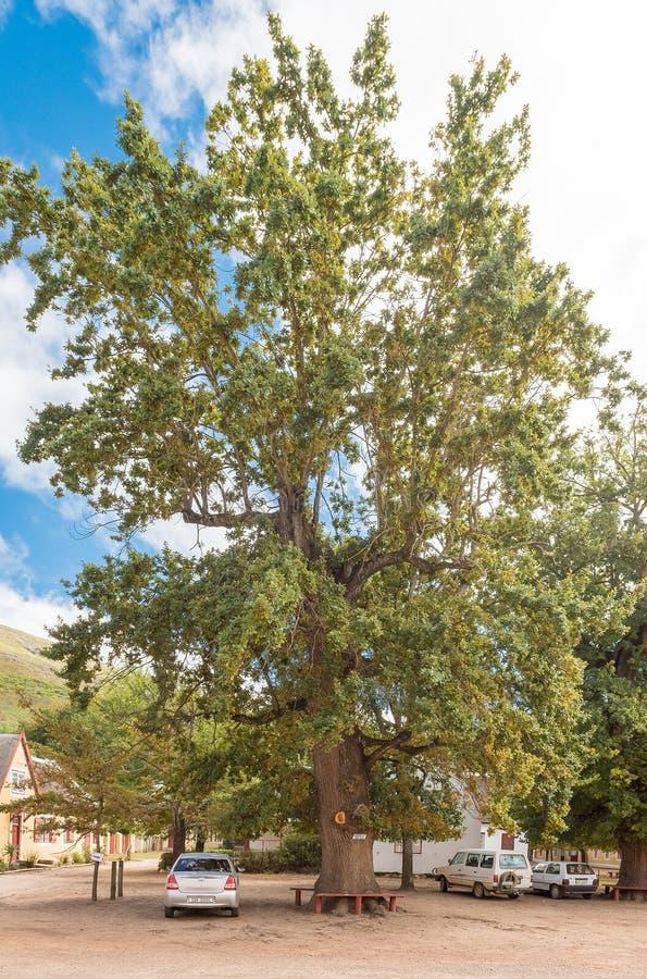 Historic oak tree on Church Square in Genadendal royalty free stock photos