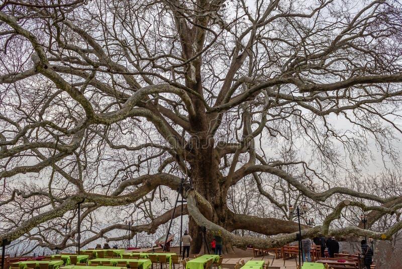 Historic old plane tree. Inkaya, Bursa, Turkey stock photo