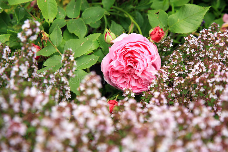 Historic pink rose Louise Odier and thyme. Blossom of the historic pink rose Louise Odier, bourbon rose with thyme in the summer garden. Foto with focus on pink stock photos