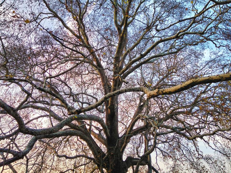 Historic Plane Tree Background. Historic Plane Tree and Blue Sky Background royalty free stock photography