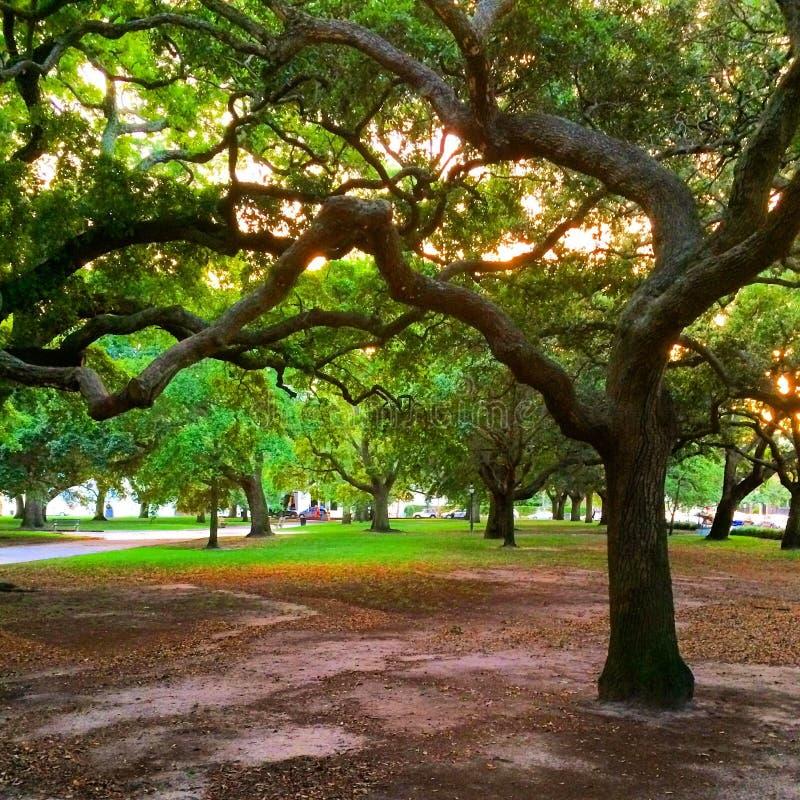 Historic tree in Charleston stock photography