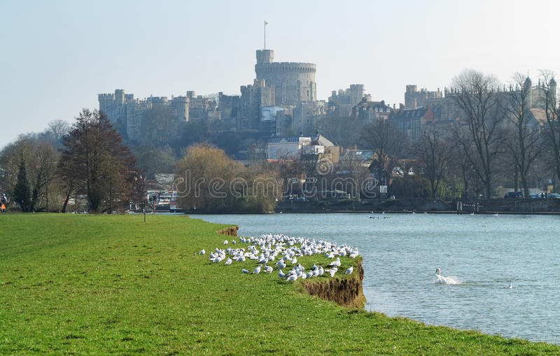 Historic Windsor Castle and the River Thames. In the Royal County of Berkshire with flock of terns on the river bank royalty free stock image