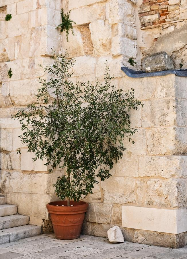 Small Tree in Pot, Diocletian`s Palace, Split, Croatia. Historical stone block fortifications and a small tree in a terracotta pot, Diocletian`s Palace or Castle stock photos