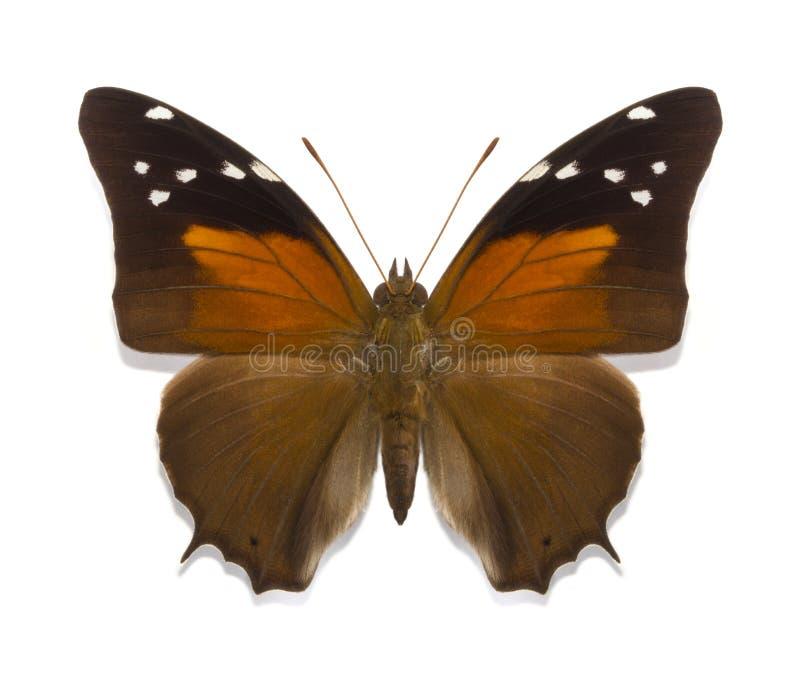 Download Historis Acheronta FABRICIUS Obraz Stock - Obraz złożonej z jaskrawy, tropikalny: 41951349