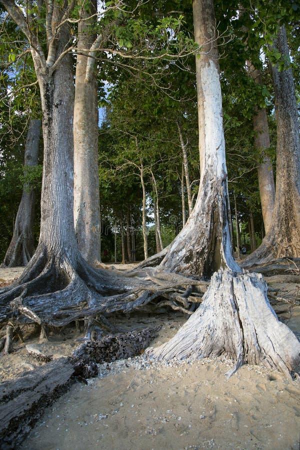 Historische Bäume als Chidiya Tapu setzen, Andaman auf den Strand lizenzfreie stockfotografie