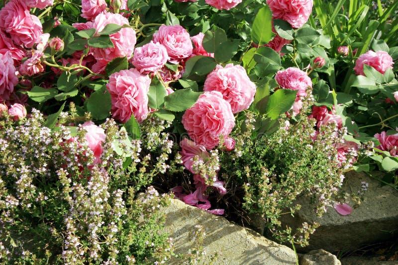 Historisk rosa färgros Louise Odier och timjan arkivfoto