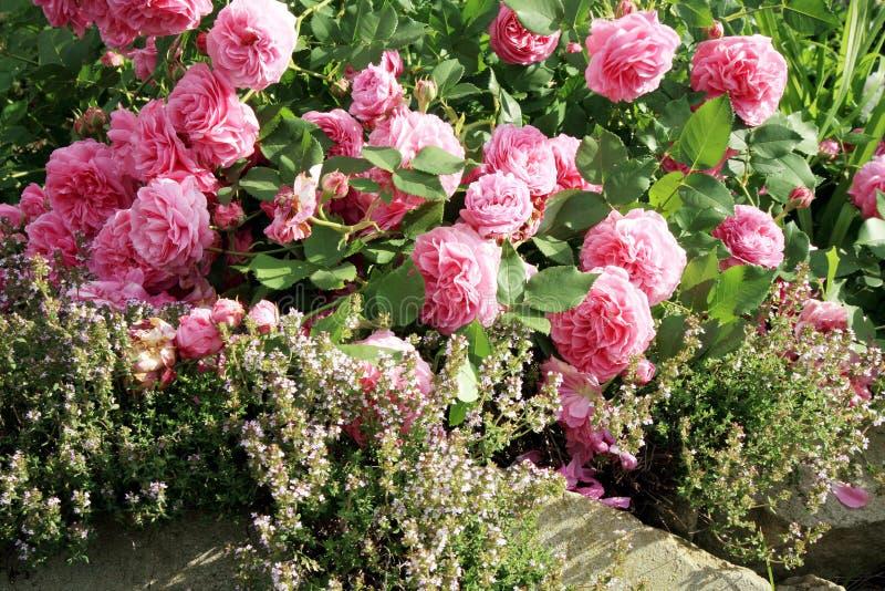 Historisk rosa färgros Louise Odier och timjan arkivfoton