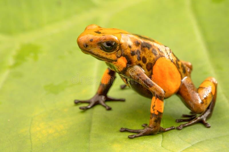 Histrionica Oophaga лягушки дротика отравы от тропического леса Колумбии стоковая фотография