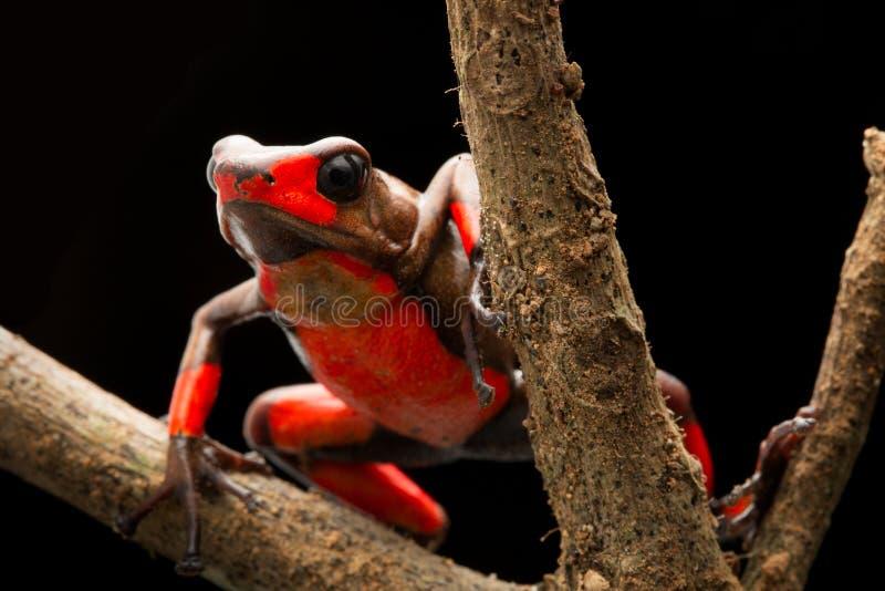 Histrionica vermelho do oophaga da rã do dardo do veneno do arlequim do bullseye imagens de stock royalty free